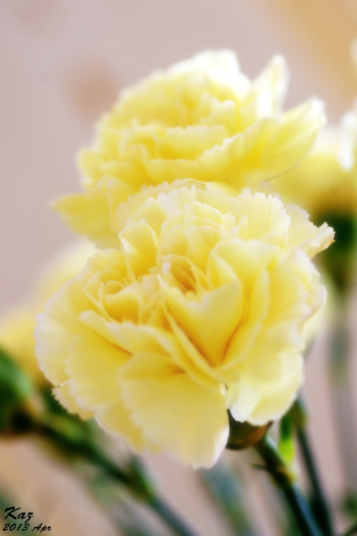 Flowers Yellow Carnations Flowers and Flower Bouquet