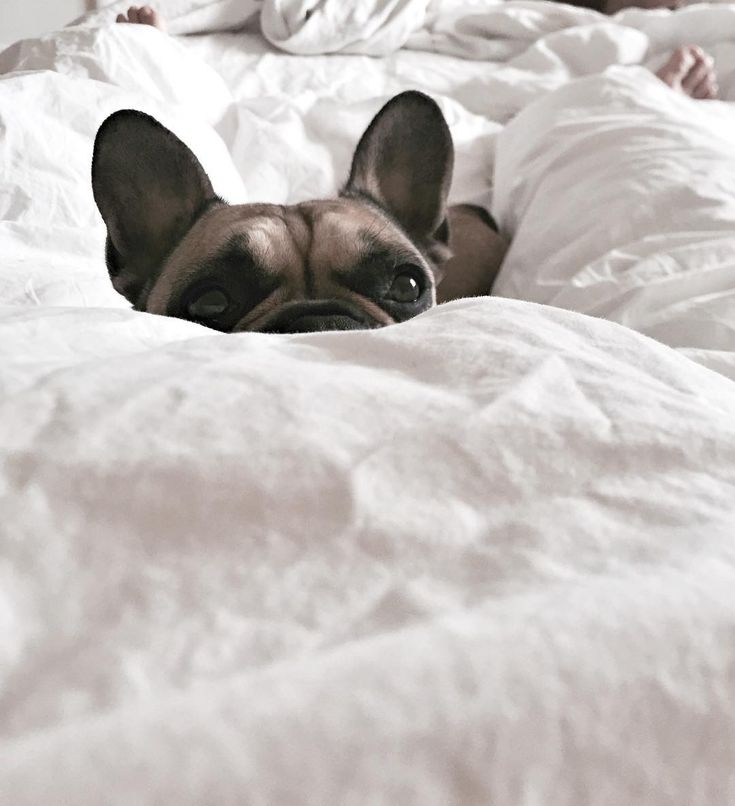 """Hey, when you gettin' up?"", French Bulldog in bed on Sunday Morning."