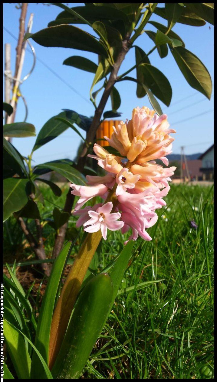 hiacynt #kwiaty #flowers #polish flowers #polskie kwiaty #kwiatki #kwiaty ogrodowe #kwiaty polne #kwiaty leśne #przebiśniegi #śnieżyczki #pierwiosnki #kwiaty wiosenne #wiosna #spring #krokusy #przebiśniegi #hiacynty #przyroda #natura #kwiaty wiosenne #spring flowers #polish flowers #Polskie kwiaty