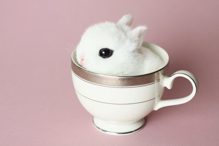 Cutest bunny ever! Baby dwarf Hotot bunny in a tea cup *.* I'm dying...