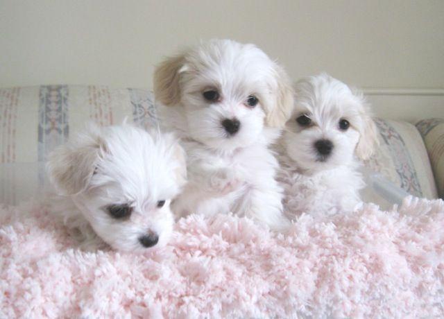 Soft Cuddly Maltese Havanese Puppies
