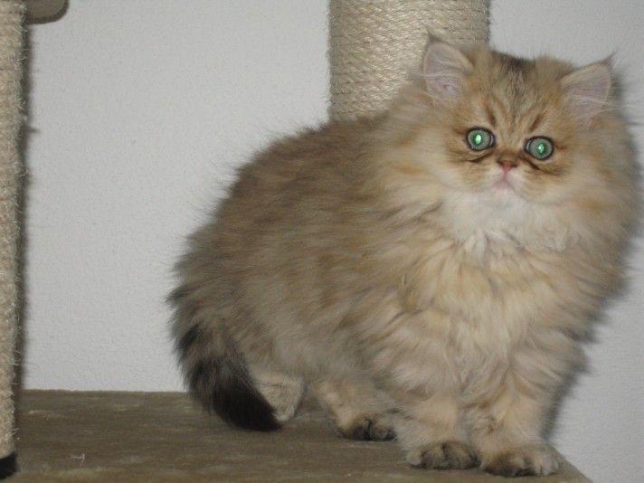 Persian Cat Rescue Virginia