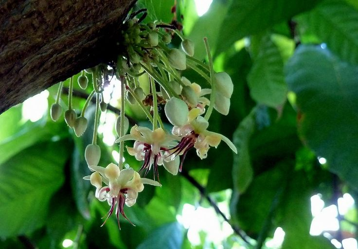 554 best les arbres leurs fleurs et leurs fruits images on pinterest vegetables exotic fruit. Black Bedroom Furniture Sets. Home Design Ideas