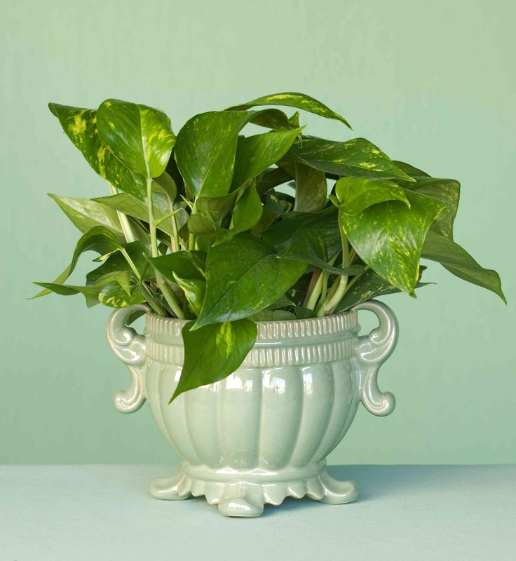 This 6 Golden Pothos Is A Medium To Low Light Plant That