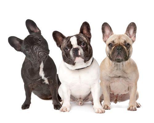 French Bulldogs, Tudo o que você deve saber antes de comprar um Buldogue Francês