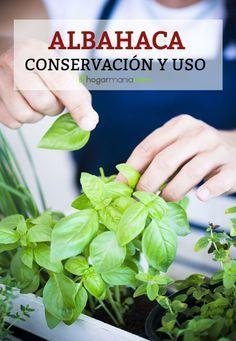 Albahaca, conservación y uso en la cocina. Descúbrelo en #hogarmania #albahaca #usos #cocina