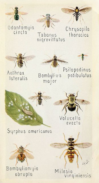 Syrphidae (Hoverflies). Field book of insects, New York,G.P. Putnam's sons,1918.