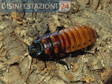 #disinfestazione #scarafaggi #blatte #blatta #soffiante #madagascar #blatella #scarafaggio