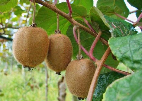 kiwi-fruit-growing-on-the-vine