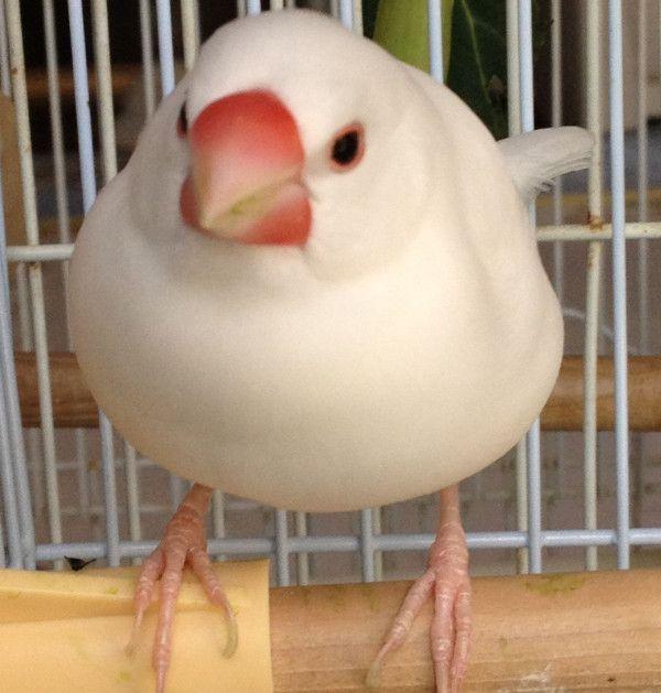 私はお餅だちゅん、白文鳥じゃないちゅん、 #文鳥