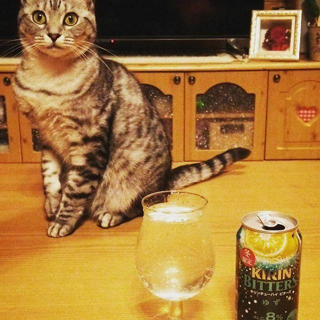 #キリン#ビターズ#ゆず  #冬限定  #苦いけど#美味しい♡  #KIRIN#bitters  #猫 #ねこ #愛猫 #サバトラ #ニャンコ #にゃんこ #ねこ部 #lovecat #catlove #catstagram #kitty #whitecat #kawaii #ねこすたぐらむ #にゃんすたぐらむ #猫ばか #元野良猫 #溺愛 #猫中心 #猫好き #みんねこ