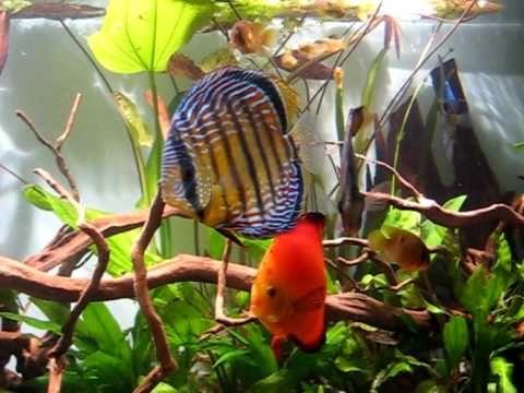 Acuario 700 litros plantado con peces disco.
