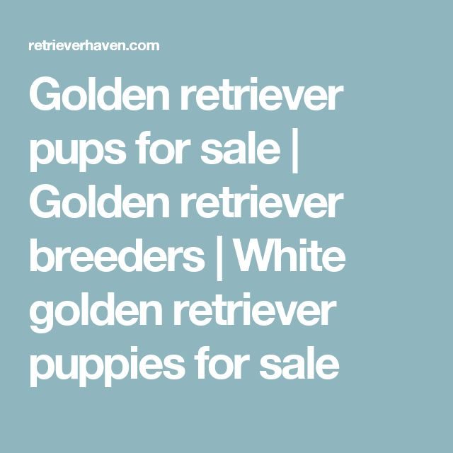 Golden retriever pups for sale | Golden retriever breeders | White golden retriever puppies for sale