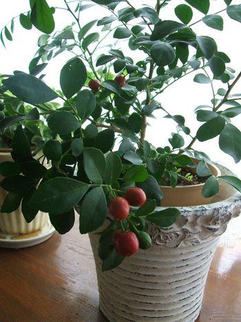白く香りのよい花を咲かせた後に、かわいらしく赤い実をつけるシルクジャスミン。和名の月橘(ゲッキツ)とは、夏の夜に咲く花が、橘の香りに似ていることから。乾燥に弱いので、霧吹きをこまめに。