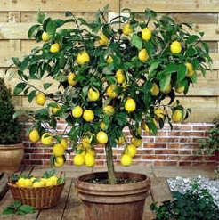 Growing lemons on your patio