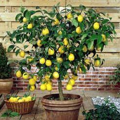 Growing a Patio Lemon Tree