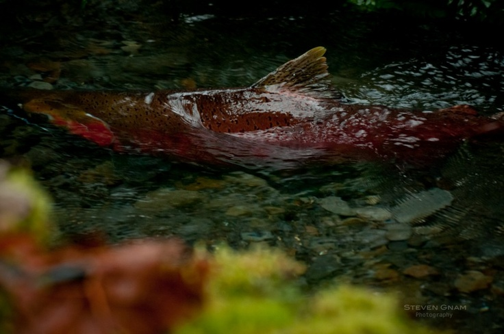 Rivers teeming with salmon! What the Mighty Columbia must have looked like back in Coyote's day! http://stevengnamphotography.com/