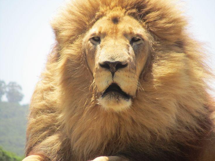 A male lion at Seaview Lion Park, Port Elizabeth, South Africa