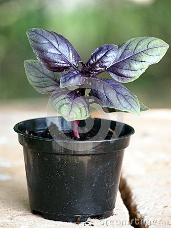 Purple Basil (Ocimum basiicum) growing in plant nursery