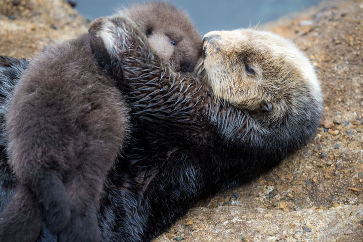 Warm Hug Wild sea otter gives birth near Monterey Bay Aquarium