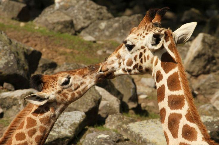 Fotos de animais se beijando: 15 provas de que o amor está no ar | HypeScience