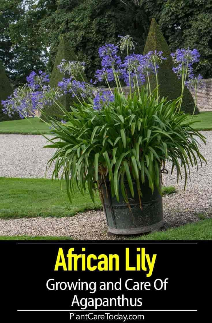 The Agapanthus Lily Plant Also Known As The Blue Lily Of The Nile Or African Lily Plant Displays Striking Blue Flowers O African Lily Agapanthus Plant Plants