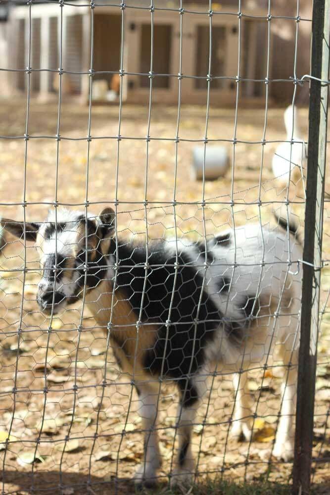 Best 25 Goat fence ideas on Pinterest