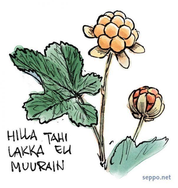 Lakka eli hilla eli muurain, keywords:  marja luonnonmarja marjat suomuurain lakka hilla muurain Rubus chamaemorus piirros