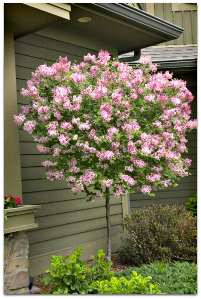 Dwarf Korean Lilac Tree Red Purple Buds That Open To Fragrant Pale Lilac Flowers Bonus Attracts Butter In 2020 Trees For Front Yard Flowering Trees Landscaping Trees