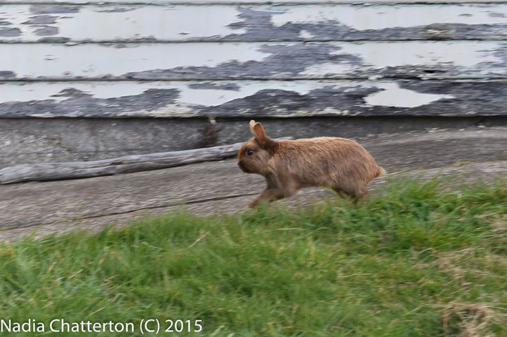 L1M2AS3- Shutter Priority Practicing panning my rabbit as he runs in the backyard down the footpath, passed the shed. I like the colours in this shot and the sharpness of my rabbit Runkle in action. Handheld Nikon D5500 f/9 1/125 ISO-200