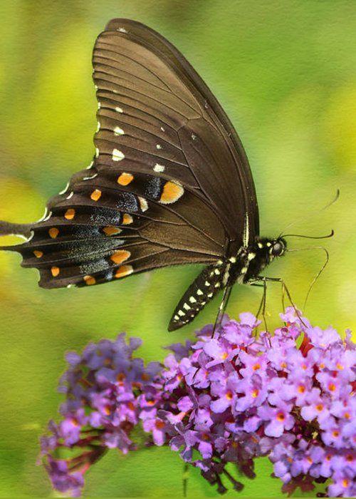 Swallowtail by Ann Bridges