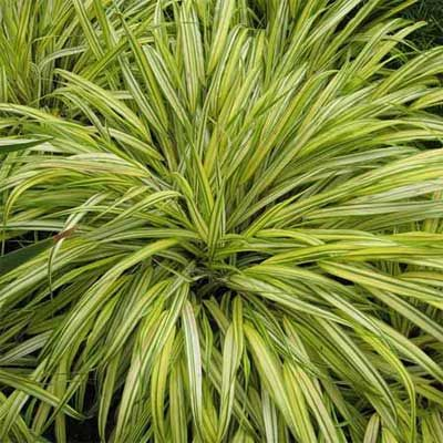 108 best images about landscape grass on pinterest for Yellow ornamental grass