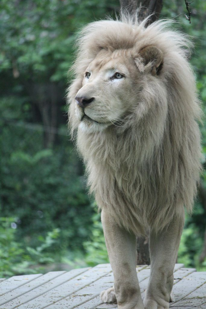 White Lion ♥___________________________ Reposted by Dr. Veronica Lee, DNP (Depew/Buffalo, NY, US)