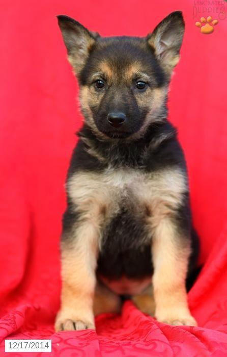German Shepherd Puppy for Sale in Pennsylvania | German ...