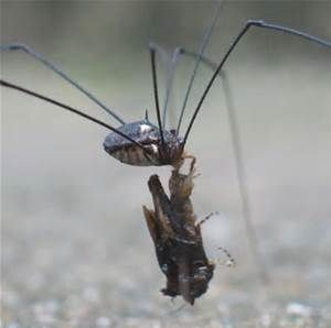granddaddy long legs spider - Bing Images