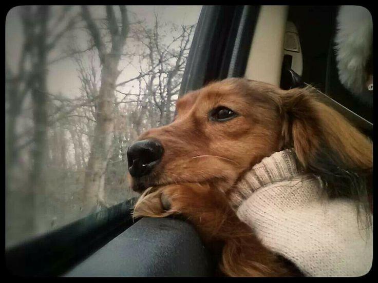 Awwwww so cute looking out the window dachshund dog