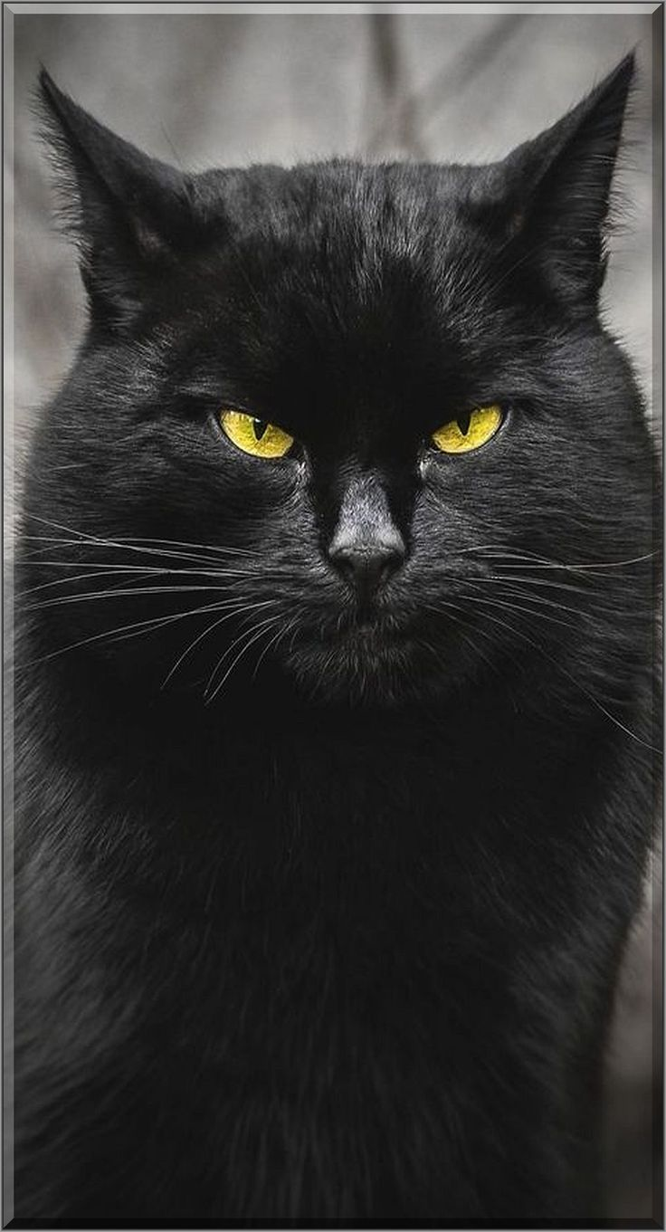 AMAZING BLACK CAT #by Gabrielius Khiterer