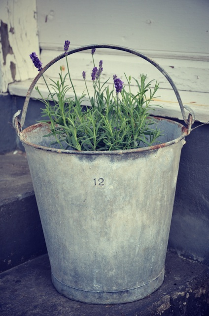 growing lavender in galvanized metal bucket
