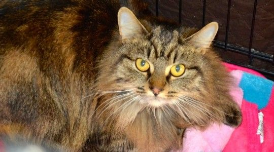 Hallow is a Maine Coon at the PAWS Adoption Center - Cincinnati, OH- he would be happiest in  a quiet home where he can be the center of attention.
