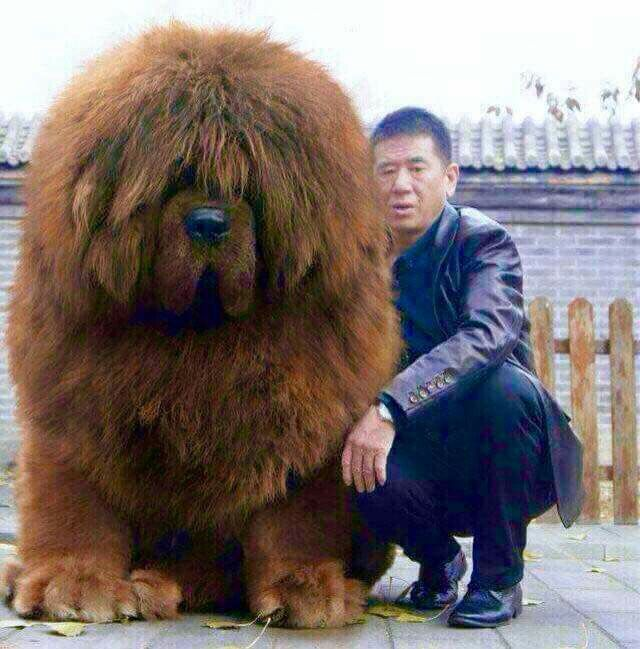 "* * [Tibetan Mastiff: ""DOG: If me beez soes expensive; whys can'ts me haz me rightful eyesight? Me kin barely seez thru dis fur."""