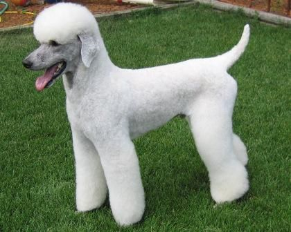 Another interesting Standard Poodle clean face and ears variation