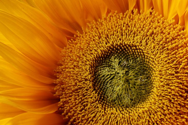 Sunflower, zonnebloem.