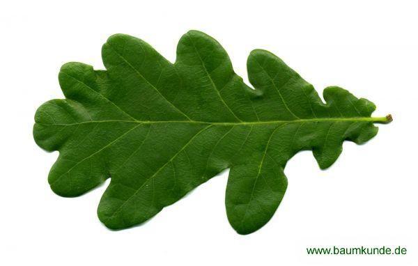 Stiel-Eiche / Quercus robur / Blatt Familie: Fagaceae