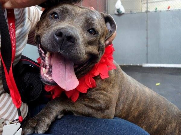 TO BE DESTROYED - SATURDAY - 7/26/14, Manhattan Center    RUBY - A1007437  ***NEW HOPE ONLY***   FEMALE, BR BRINDLE / WHITE, PIT BULL MIX, 3 yrs  OWNER SUR - EVALUATE, NO HOLD  Reason LLORDPRIVA   Intake condition NONE Intake Date 07/20/2014, From NY 10459, DueOut Date 07/20/2014  https://www.facebook.com/photo.php?fbid=841853542494193&set=a.617938651552351.1073741868.152876678058553&type=3&permPage=1