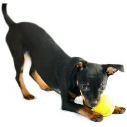 L' English Toy Terrier Black and Tan è un cane di taglia piccola, allegro e solare, capace di portare armonia e vivacità in ogni famiglia. Compagno di giochi dei più piccoli, sa essere anche un buon guardiano e protegge con tutto se stesso il padrone e la sua famiglia.