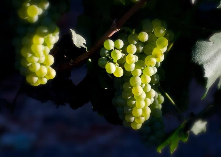 Thanks to Sangiacomo Family Vineyards for sharing these chardonnay grapes at sunrise...
