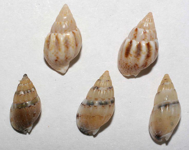I tre in basso Nassarius cuvierii_ costulatum i due in alto forme giovani (a labbro sottile) di N. corniculus