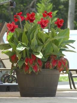 Red cannas and caladiums