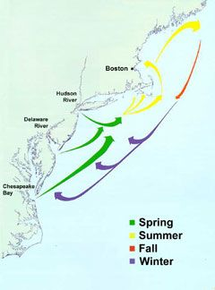 Striped Bass migration routes from the principal spawning grounds of the Chesapeake Bay ...