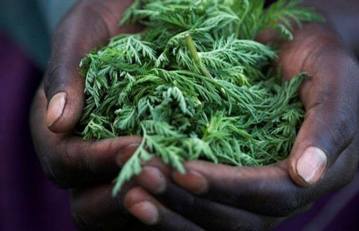 """I media ovviamente non potevano fare altro che NASCONDERE CON FORZA questa scoperta. Dovete sapere, infatti, che esiste un'erba il cui principio attivo,combinato con il ferro, è in grado di uccidere il tumore in sole 16 ore!Il suo nome è """"Artemisia annua"""". Ovviamente questa erbaè bo"""